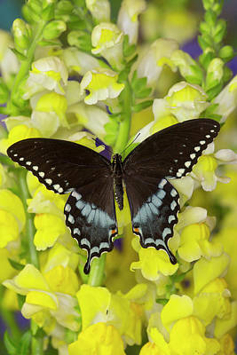 Snapdragons Photograph - Spicebush Swallowtail, Papilio Troilus by Darrell Gulin