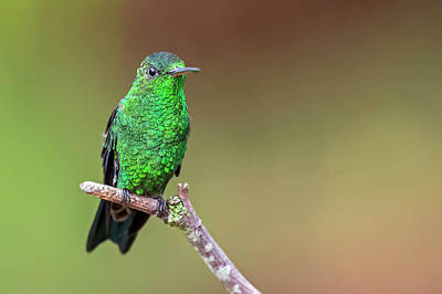Amazilia Photograph - Steely-vented Hummingbird by Juan Jose Arango