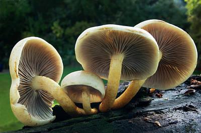 Sulphur Tuft Fungus Art Print by Nigel Downer