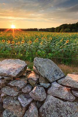 Buttonwood Farm Photograph - Sunflower Sunset by Bryan Bzdula