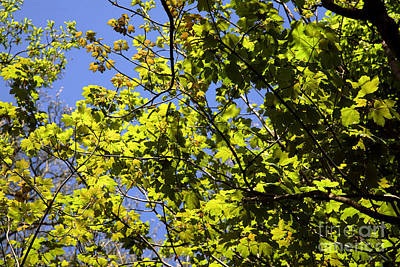 Dappled Light Photograph - Sycamore Leaves Acer Pseudoplatanus by Dr. Keith Wheeler