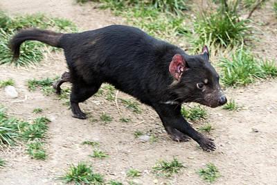 Photograph - Tasmanian Devil by Mark Newman