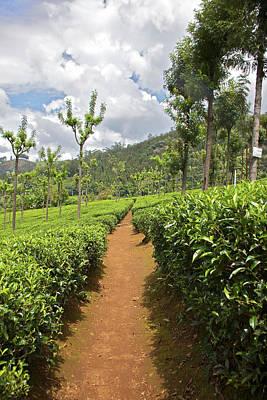 Tea Tree Photograph - Tea Plants (camellia Sinensis by Connie Bransilver