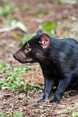Marsupial Photograph - The Tasmanian Devil (sarcophilus by Martin Zwick
