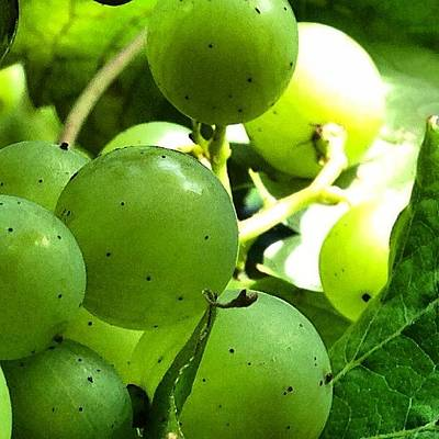 Grapes Photograph - This Photo Is One Of A Series Created by Baz Twyman