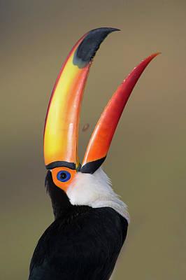 Animal Behavior Photograph - Toco Toucan Ramphastos Toco, Pantanal by Panoramic Images