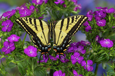 Two-tailed Swallowtail Butterfly Print by Darrell Gulin