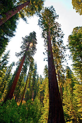 Sequoiadendron Giganteum Photograph - Usa, California, Yosemite National by Bernard Friel