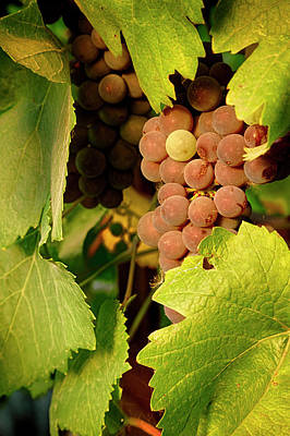 Usa, Oregon, Keizer, Pinot Gris Grapes Art Print