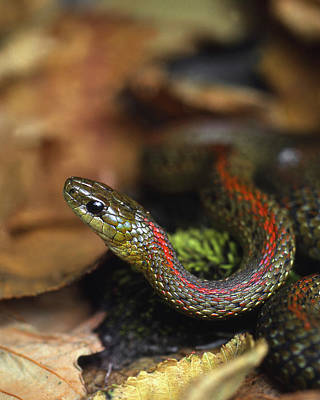 Garter Snake Photograph - Usa, Oregon, Multnomah County by Jaynes Gallery