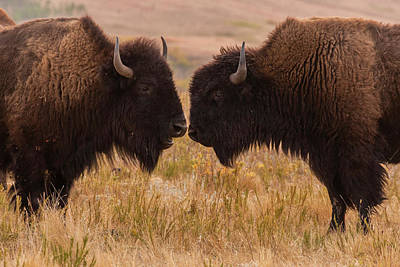 Bison Photograph - Usa, South Dakota, Custer State Park by Jaynes Gallery