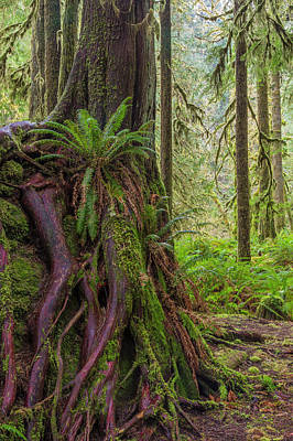 Red Cedar Photograph - Usa, Washington State, Olympic National by Jaynes Gallery