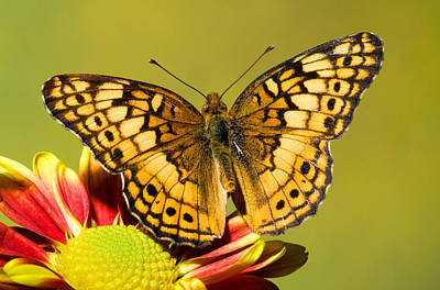 Photograph - Variegated Fritillary by Millard H Sharp