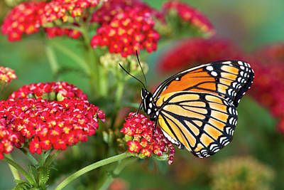 Yarrow Photograph - Viceroy Butterfly That Mimics by Darrell Gulin