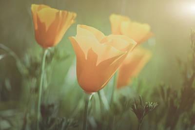 Photograph - Vintage California Orange Poppy by Brandon Bourdages