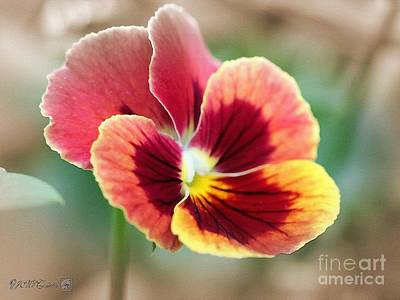 Painting - Viola Named Penny Red Blotch by J McCombie
