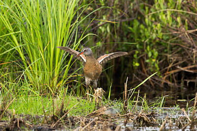 Virginia Rail Rallus Limicola Art Print by Linda Freshwaters Arndt