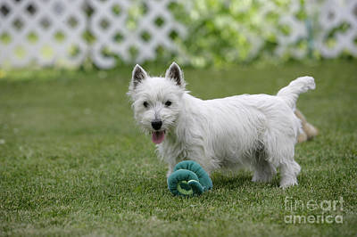 Westie Pup Photograph - West Highland White Terrier by Rolf Kopfle