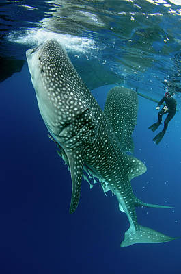 Whale Shark And Tourist Art Print by Pete Oxford