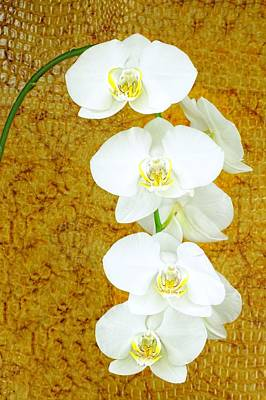 Photograph - White Orchid-4 by Rudy Umans