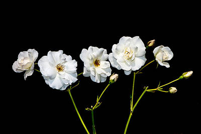 Photograph - 5 White Roses On Black by Matthias Hauser