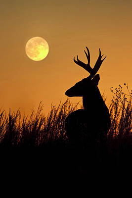 White-tailed Buck Photograph - White-tailed Deer (odocoileus by Larry Ditto