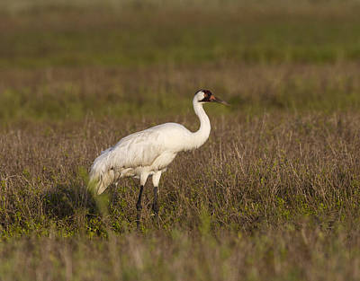 Photograph - Whooping Crane by Doug Lloyd
