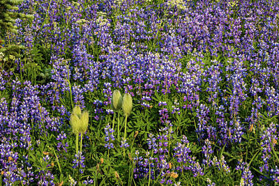 Photograph - Wildflowers In A Field, Mount Rainier by Panoramic Images