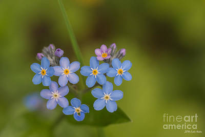 Vergissmeinnicht Photograph - Wood Forget-me-not by Jivko Nakev