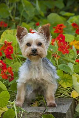 Photograph - Yorkshire Terrier by John Daniels