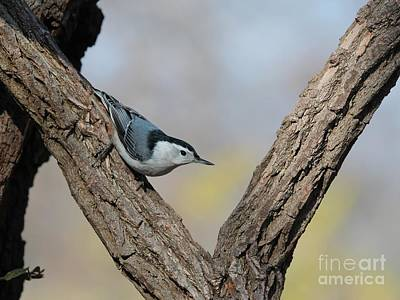 Photograph - White-breasted Nuthatch by Jack R Brock