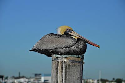 Photograph - 51- Brown Pelican by Joseph Keane
