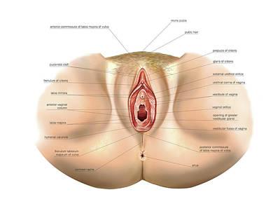 Vulva Photograph - Female Genital System by Asklepios Medical Atlas