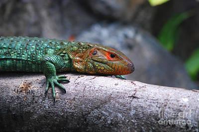 Photograph - 53- Caiman Lizard by Joseph Keane