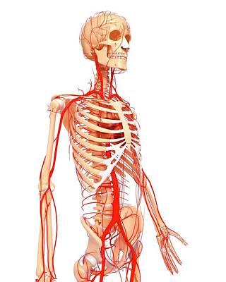 Human Arteries Art Print by Pixologicstudio/science Photo Library
