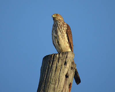 Photograph - 53- Red-shouldered Hawk by Joseph Keane