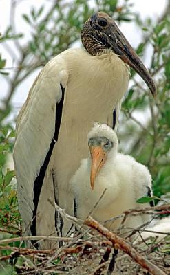 Photograph - Wood Storks by Millard H. Sharp