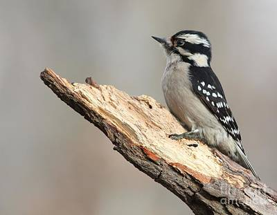 Photograph - Downy Woodpecker by Jack R Brock