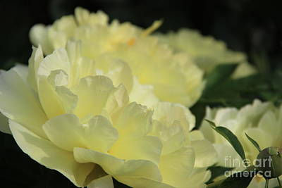Photograph - Yellow Peonies by Rod Ismay