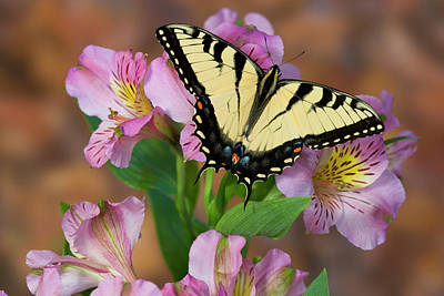 Peruvian Lily Photograph - Eastern Tiger Swallowtail Butterfly by Darrell Gulin