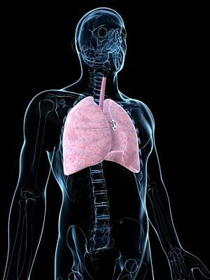 Human Internal Organ Photograph - Human Lungs by Sebastian Kaulitzki