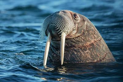 Walrus Photograph - Norway, Svalbard by Jaynes Gallery