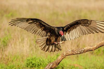 Turkey Vulture Photograph - Usa, Texas, Hidalgo County by Jaynes Gallery