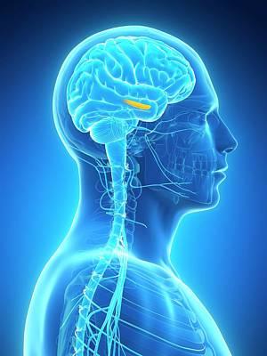 Hippocampus Photograph - Human Brain by Sebastian Kaulitzki