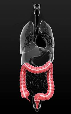 Sigmoid Colon Photograph - Human Digestive System by Pixologicstudio