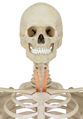 Human Neck Muscles Art Print by Sciepro