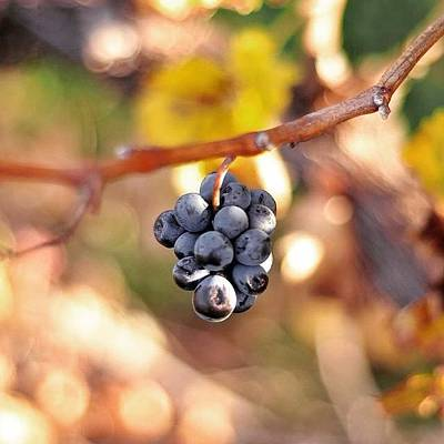 Grapes Photograph - Instagram Photo by Johannes Jansen van Vuuren