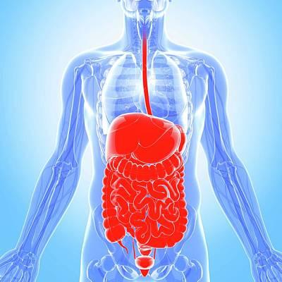 Human Digestive System Art Print by Pixologicstudio