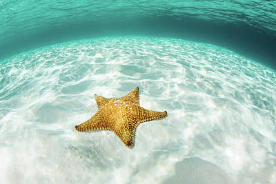 Photograph - A West Indian Starfish Crawls by Ethan Daniels