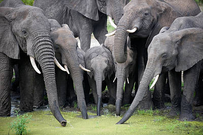 African Elephants Loxodonta Africana Art Print by Panoramic Images
